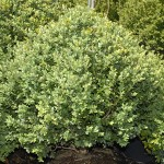 Greenmountain Boxwood