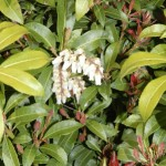 Mt Fire Pieris