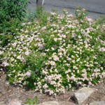 Spirea Little Princess